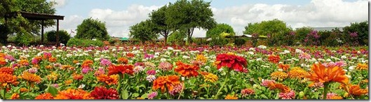 Zinnia Fields