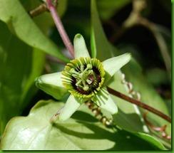 Passiflora coriacea1