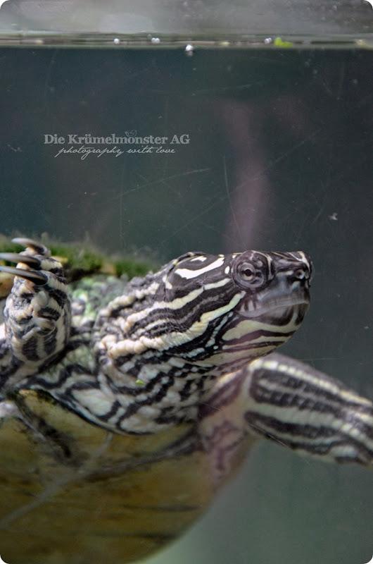 Zoo Frankfurt Wasserschildkröte 150813 (2)