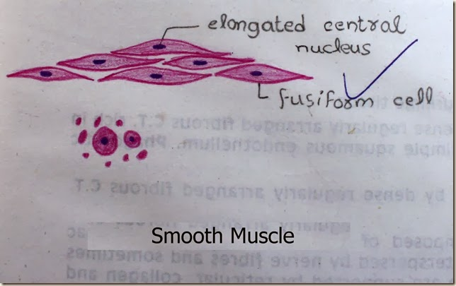 smooth muscle high resolution histology diagram