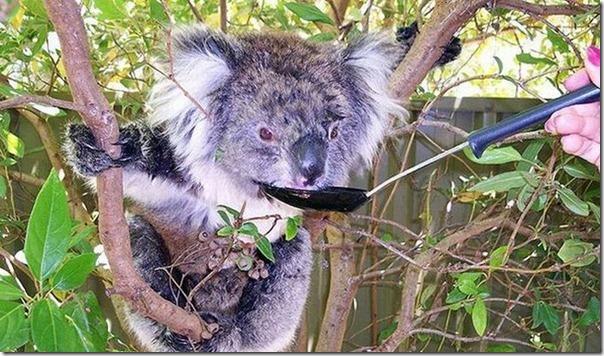 Adoraveis Koalas (14)