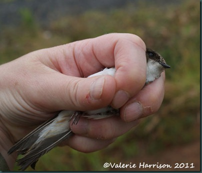 ringing sandmartin-in-my-hand