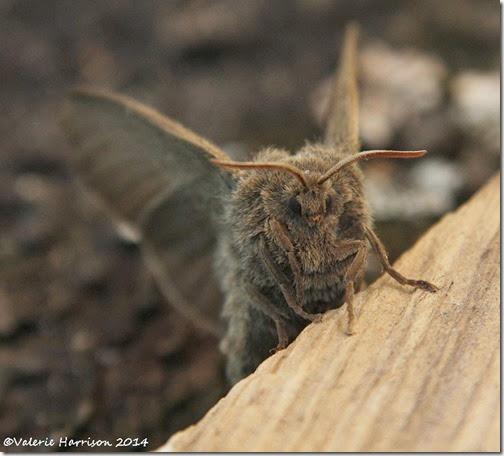 Fox-Moth-6