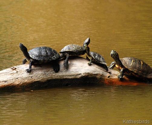 15. turtles in Agua Caliente-kab