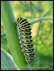 Bruco di Papilio machaon (Farfalla macaone) (2)