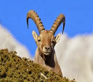 Amazing Pictures of Animals, Photo, Nature, Incredibel, Funny, Zoo, Alpine ibex, Capra ibex, Mammalia, Alex (10)