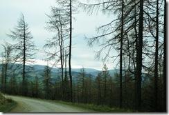 glentress trees2