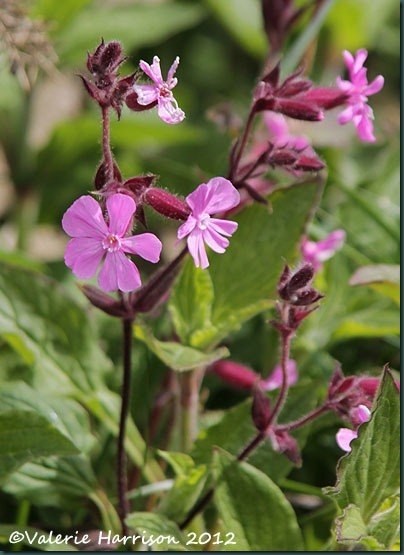 5-red-campion