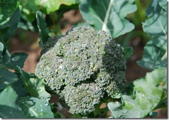brócolos DSC_0535DSC_05351