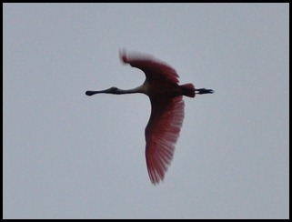 02a - First Roseate Spoonbill flies in