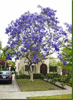 Jacaranda cuspidifolia (3)