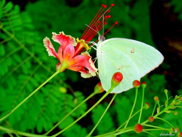 Phoebis sennae marcellina (CRAMER, 1777), mâle. Colider (Mato Grosso, Brésil), 27 novembre 2011. Photo : Cidinha Rissi