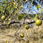 Früchte am Wegesrand. © Foto: Marco Penzel | Outback Africa Erlebnisreisen