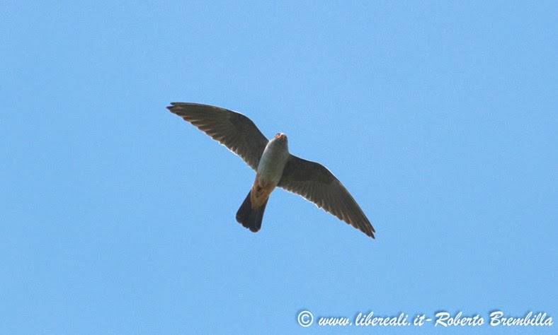 41-2014-05-20_Falco cuculo_Delta Po (5)