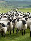 Flock - Ayling 6.jpg
