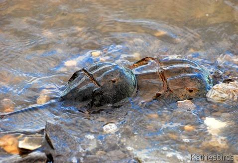 6. horseshoe crabs-kab