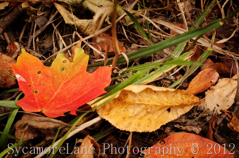 fall leaves 2012
