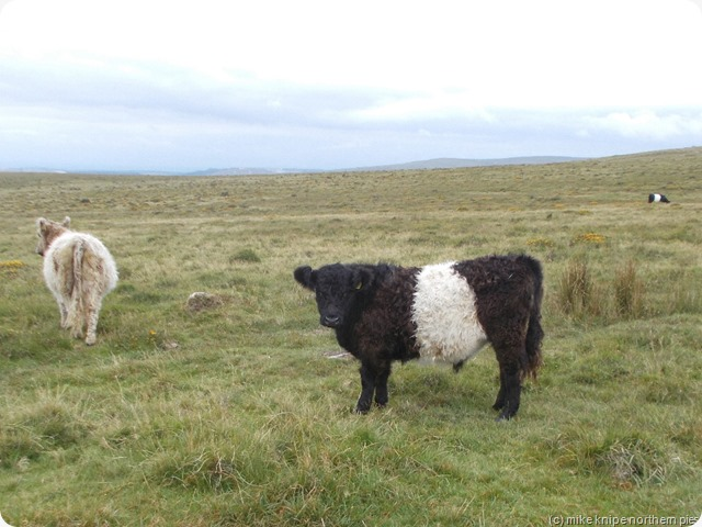 galloways