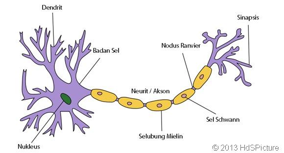 gambar sel saraf (neuron) dan bagian-bagian sel saraf (neuron) dalam Bahasa Indonesia