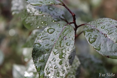 Raindrops on Purple Leaf Sandcherry