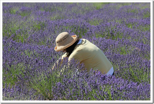 110710_Mt_Shasta_Lavender_Farm_59