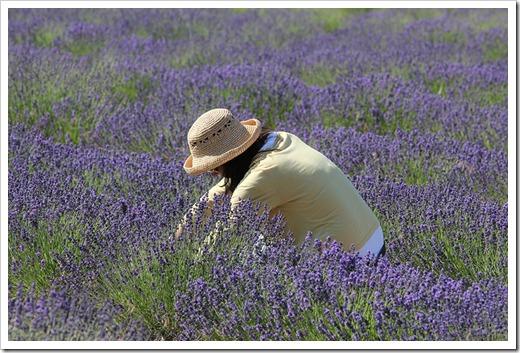 110710_Mt_Shasta_Lavender_Farm_59