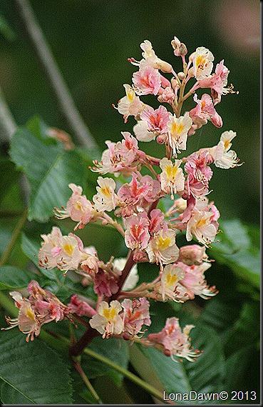 DA_Aesculus_pavia_Koehenii_FloweringBuckeye6