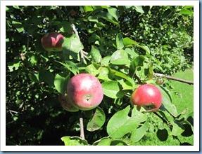 20110823_apples_001