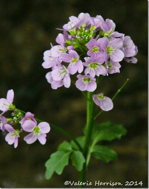 33-cardamine-raphanifolia