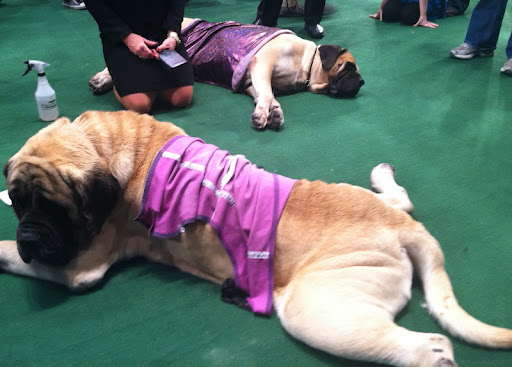 These Mastiffs were resting up before getting into the ring!