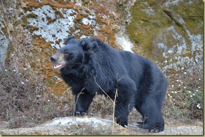 ZP Asiatic Black Bear