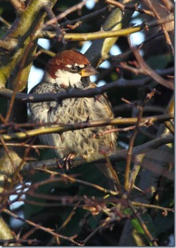 spanish_sparrow2