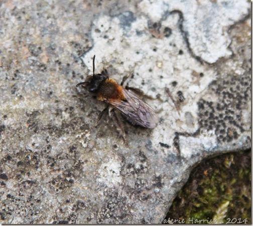 2-andrena-mining-bee