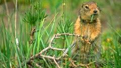 female-arctic-ground-squirrel