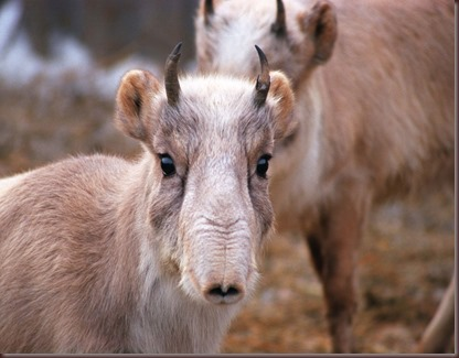 Amazing Animal Pictures The Saiga Antelope (3)