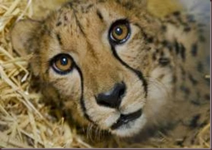 Amazing Animal Pictures Cheetah (11)