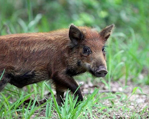 9- Um porco na Austrália