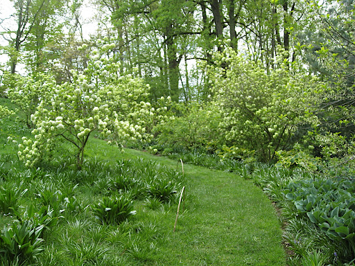This turf path leads up through snowball viburnum (V. macrocephalum) and many varieties of hostas.