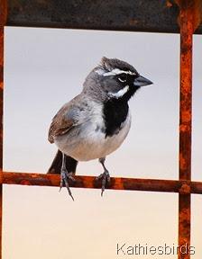 DSC_0066 black-throated sparrow-kab