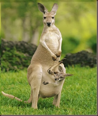 Amazing Animal Pictures Kangaroo (1)