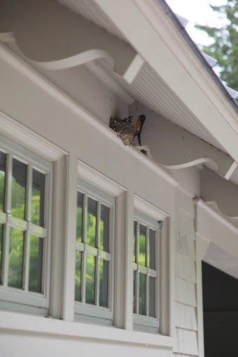 Well, look what we have here!  It's a barn swallow's nest filled with the most yummy....I mean mummy and her babies!
