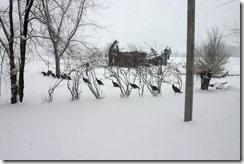 Turkeys01