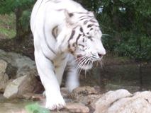 2004.08.25-060 tigre blanc