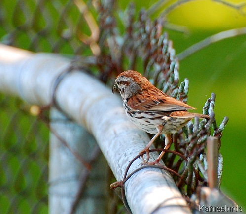 12. song sparrow-kab