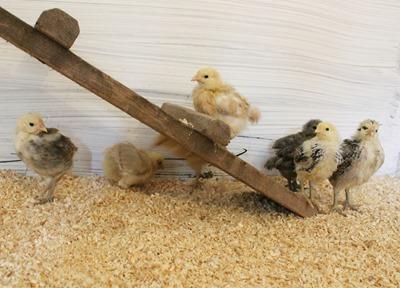 Hedemorahöns, kycklingar