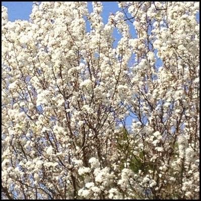 bradford pear tree 7