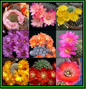 Rebutia mix