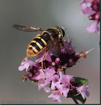 Hoverfly-Sericomyia-silentis