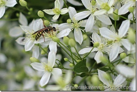 Wasp on fall blooming Clematis