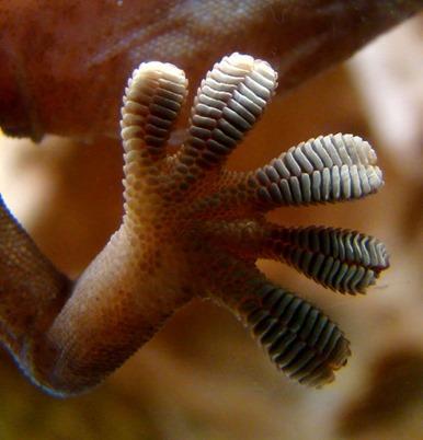 pata de lagartixa apoiada num vidro